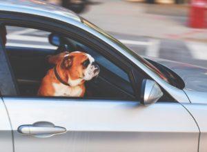 conduir amb mascotes (Medium)